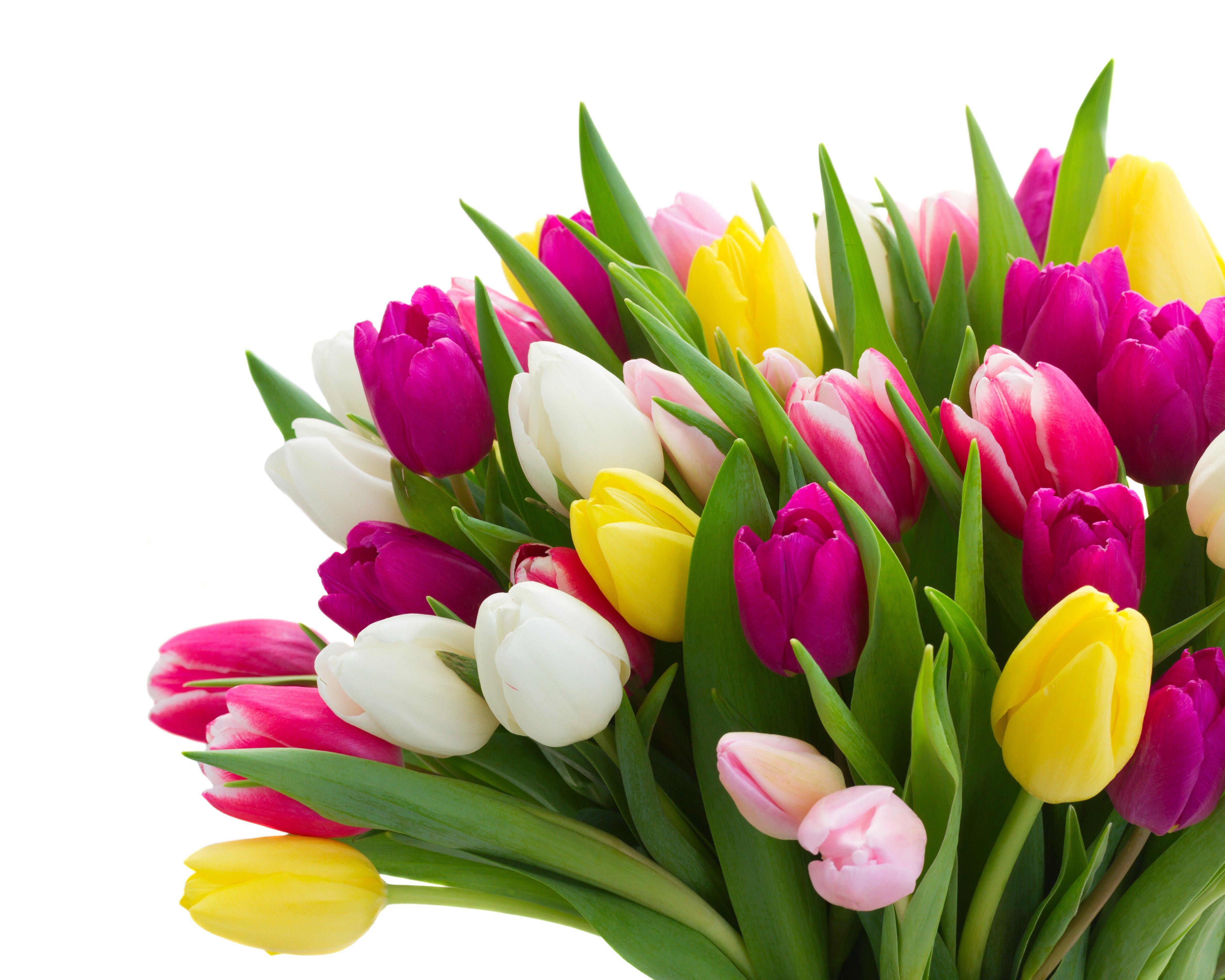Тюльпаны в Ярославле