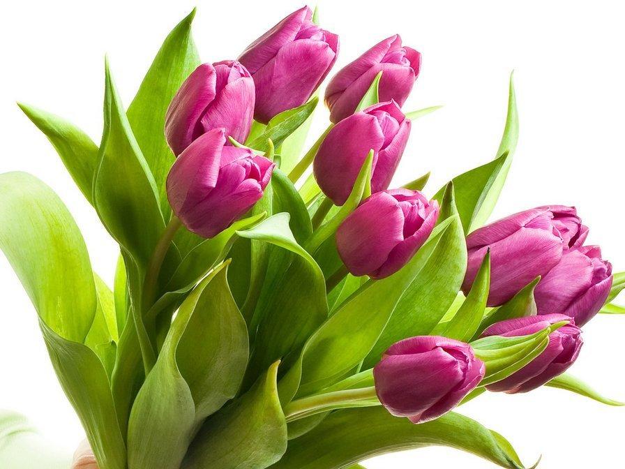 Фиолетовые тюльпаны  в Ярославле